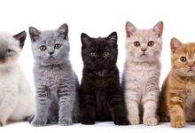 صورة افضل انواع القطط للتربية في المنزل