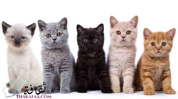 افضل انواع القطط للتربية في المنزل ثقافة كوم