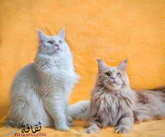 اجمل انواع القطط للتربية في المنزل-موقع ثقافة.كوم