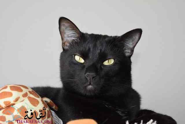 معلومات غريبة عن القطط القطط السوداء-موقع ثقافة.كوم