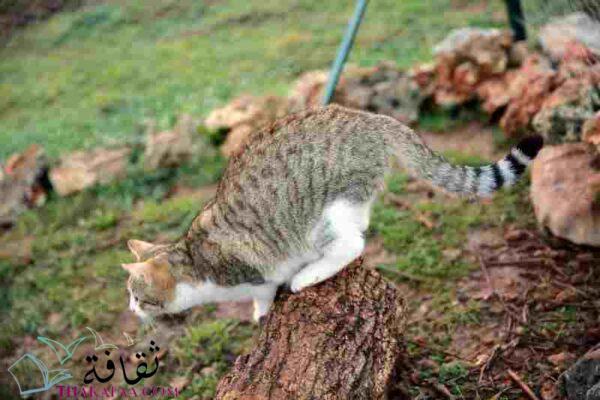 القطط بسبع ارواح - أغرب معلومات عن القطط لن تتوقعها ابدا-موقع ثقافة.كوم