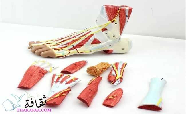 أجزاء القدم