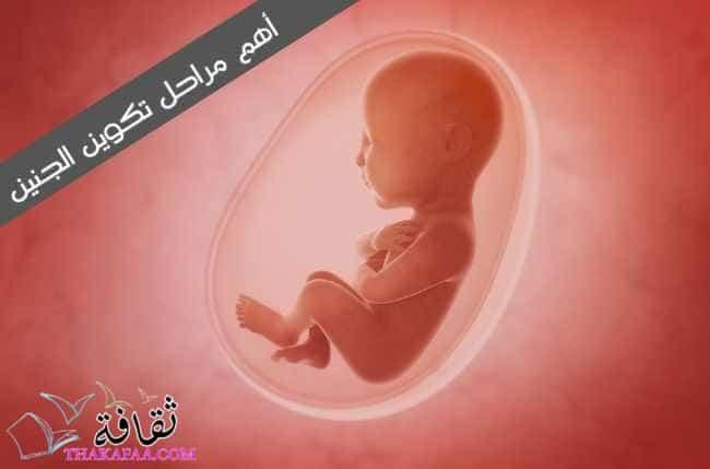 أهم مراحل تكوين الجنين
