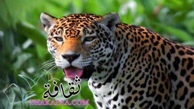 صورة أهم معلومات عن حيوان الجاكوار المفترس jaguar