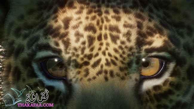 أهم معلومات عن حيوان الجاكوار المفترس jaguar